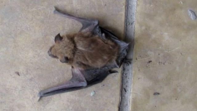 Hallaron a un murciélago con rabia en Pueblo Nuevo, Olavarría
